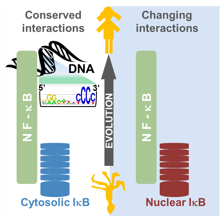 Evolution of NF-kB function