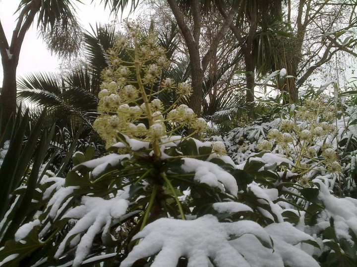 Fatsia covered in snow, Hammersmith, London, December 2010